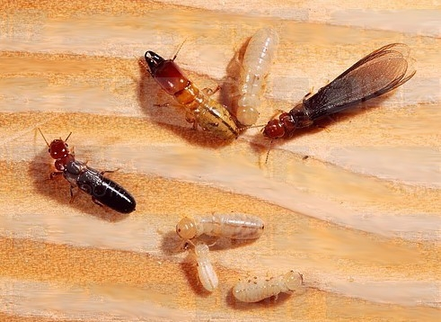 Drywood Termites Localized Treatment