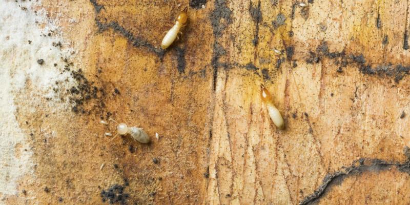 Prevent Drywood Termite Infestation